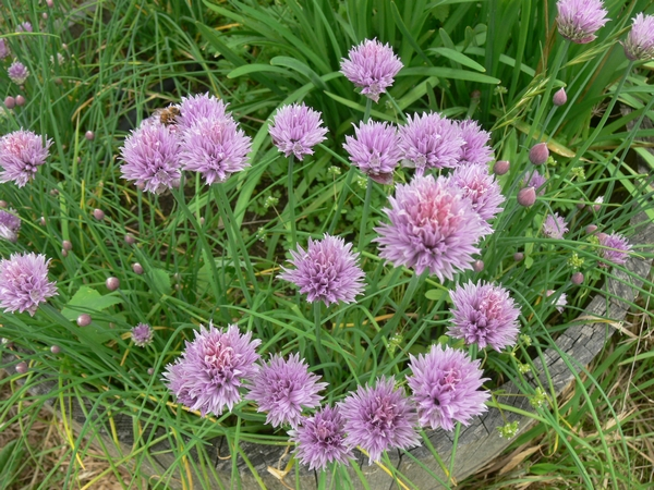 2011-11-chives-flowering