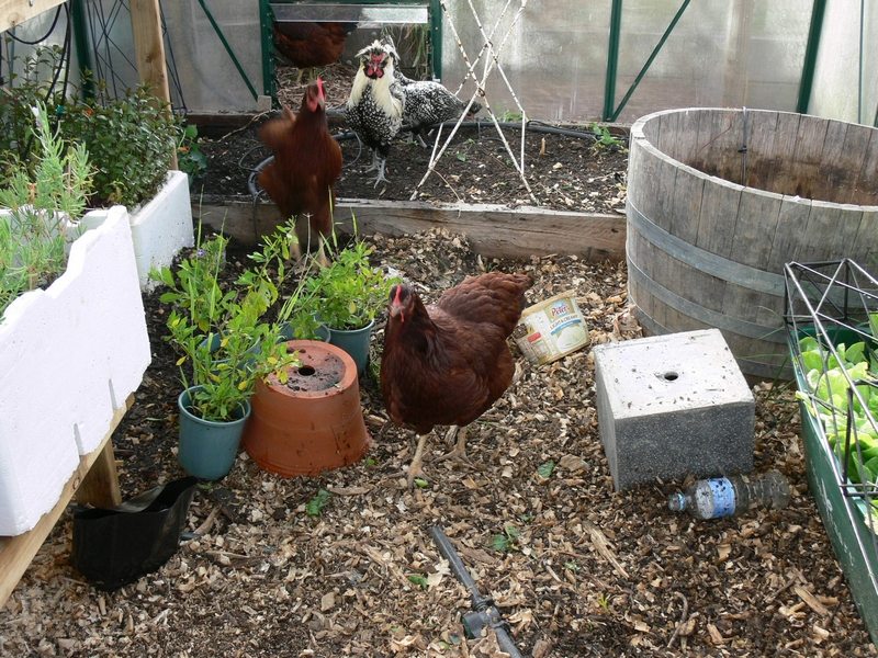 2012-11-chook-hothouse