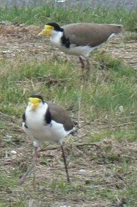 Plovers - Masked Lapwing